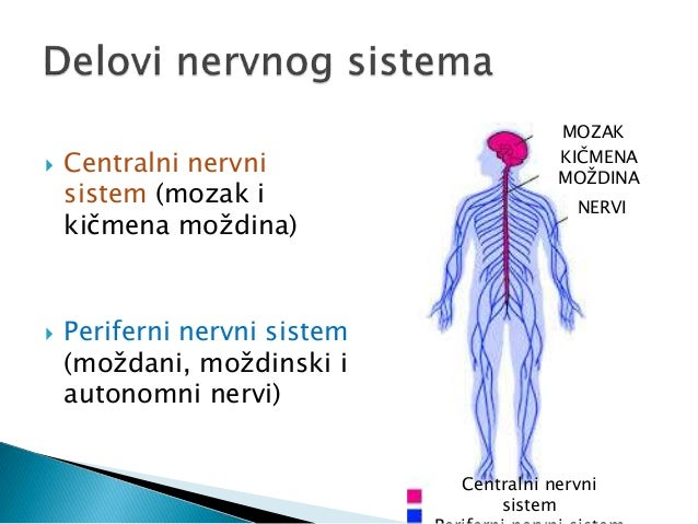Periferni nervni sistem Slide 3