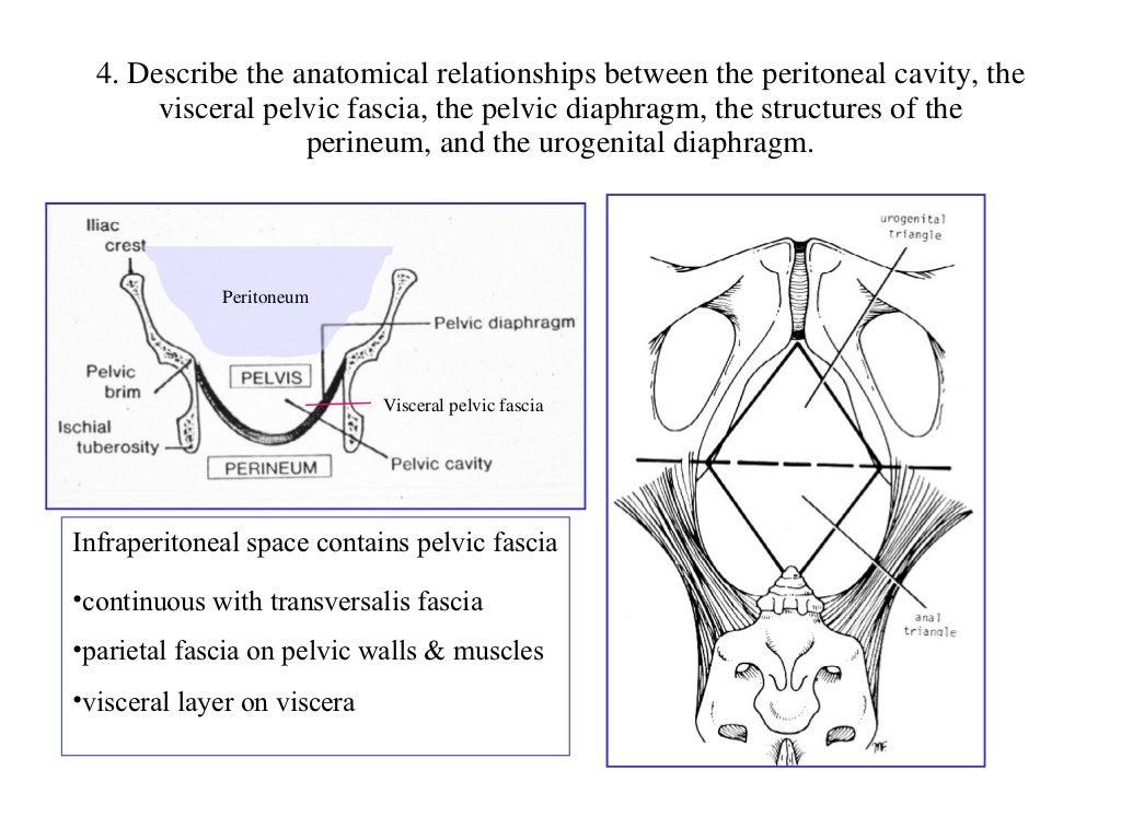 perine anatomisi (fazlası için www.tipfakultesi.org)