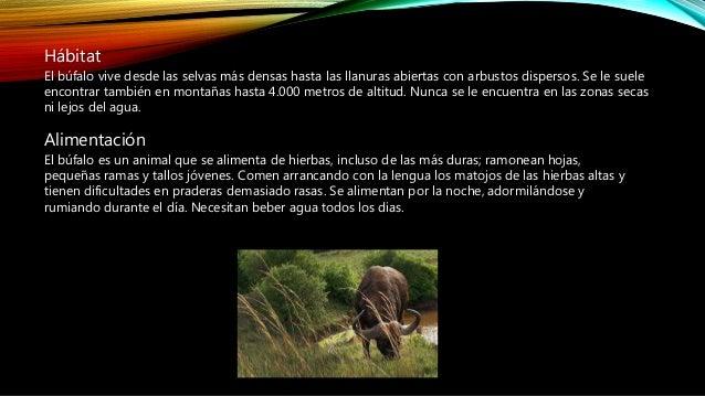 Periodo de gestación de un búfalo