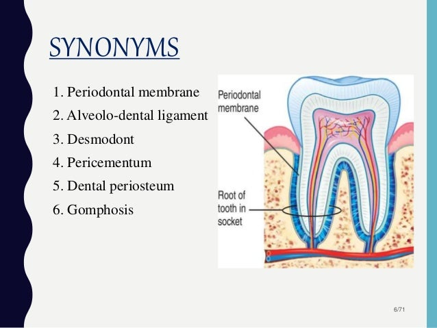 Image result for periodontal membrane