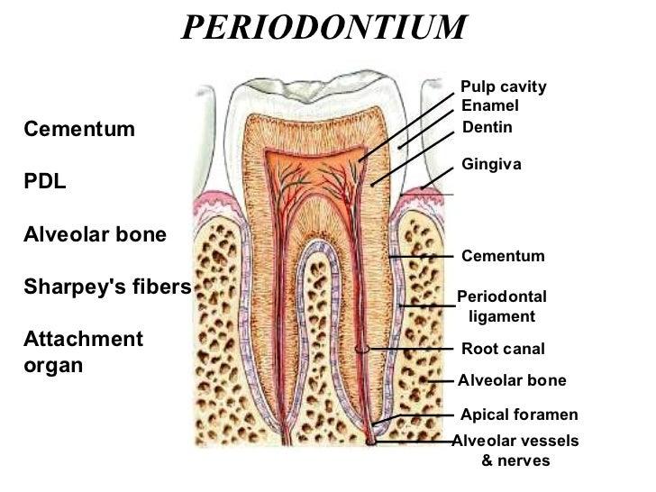 PERIODONTIUM Cementum PDL Alveolar bone Sharpey's fibers Attachment organ Cementum Periodontal ligament Alveolar bone Apic...