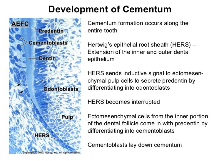 Development of Cementum Cementum formation occurs along the entire tooth Hertwig's epithelial root sheath (HERS) – Extensi...