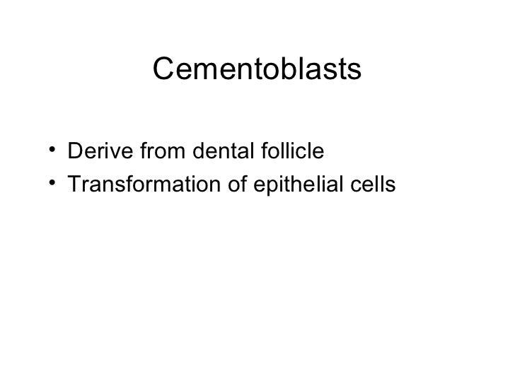 Cementoblasts <ul><li>Derive from dental follicle </li></ul><ul><li>Transformation of epithelial cells </li></ul>