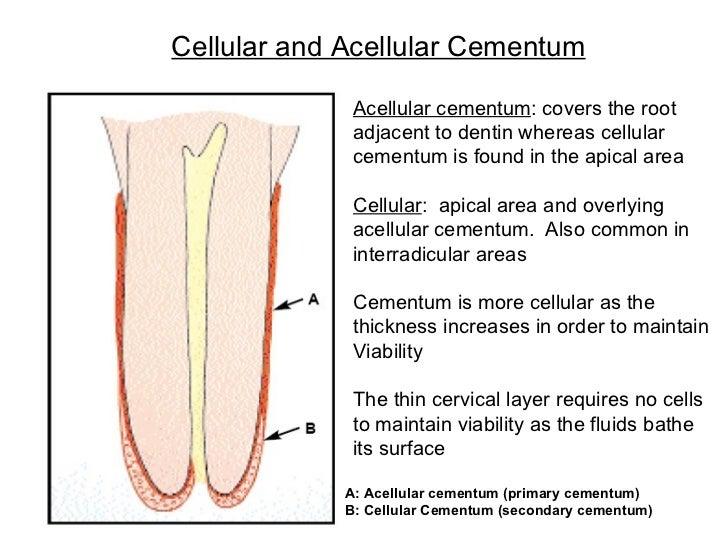 Cellular and Acellular Cementum A: Acellular cementum (primary cementum) B: Cellular Cementum (secondary cementum) Acellul...