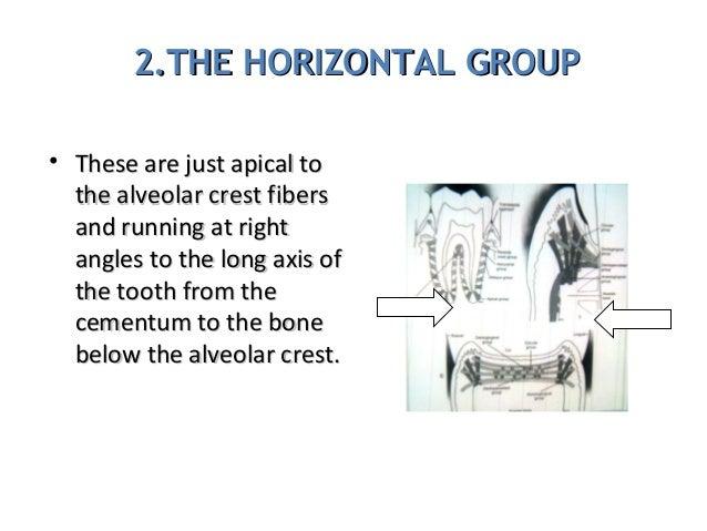 2.THE HORIZONTAL GROUP2.THE HORIZONTAL GROUP • These are just apical toThese are just apical to the alveolar crest fiberst...
