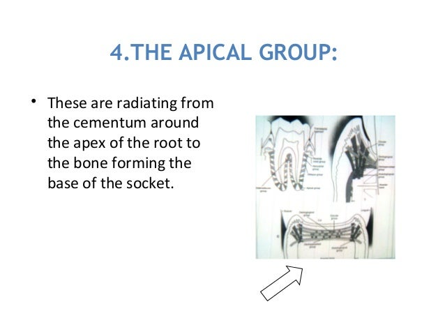 4.THE APICAL GROUP: • These are radiating from the cementum around the apex of the root to the bone forming the base of th...