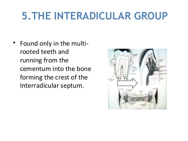 5.THE INTERADICULAR GROUP • Found only in the multi- rooted teeth and running from the cementum into the bone forming the ...