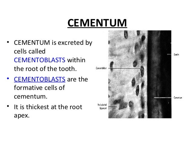 CEMENTUM • CEMENTUM is excreted by cells called CEMENTOBLASTS within the root of the tooth. • CEMENTOBLASTS are the format...