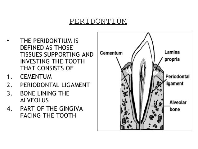 PERIDONTIUM • THE PERIDONTIUM IS DEFINED AS THOSE TISSUES SUPPORTING AND INVESTING THE TOOTH THAT CONSISTS OF 1. CEMENTUM ...