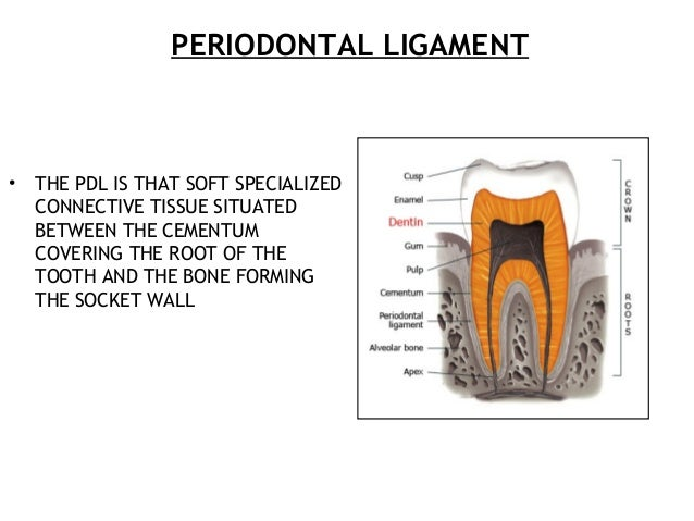 PERIODONTAL LIGAMENT • THE PDL IS THAT SOFT SPECIALIZED CONNECTIVE TISSUE SITUATED BETWEEN THE CEMENTUM COVERING THE ROOT ...
