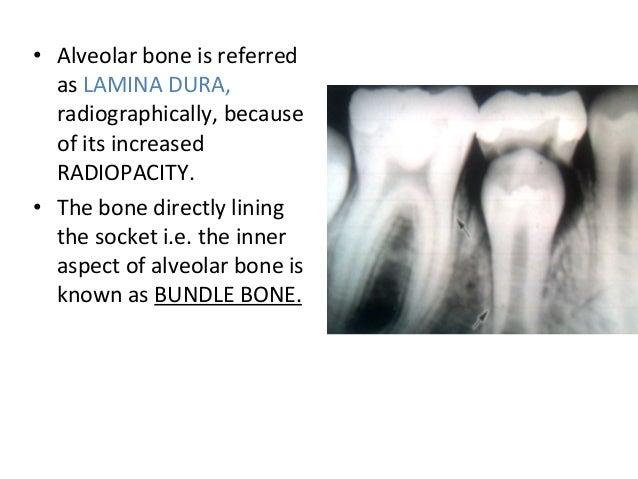 • Alveolar bone is referred as LAMINA DURA, radiographically, because of its increased RADIOPACITY. • The bone directly li...