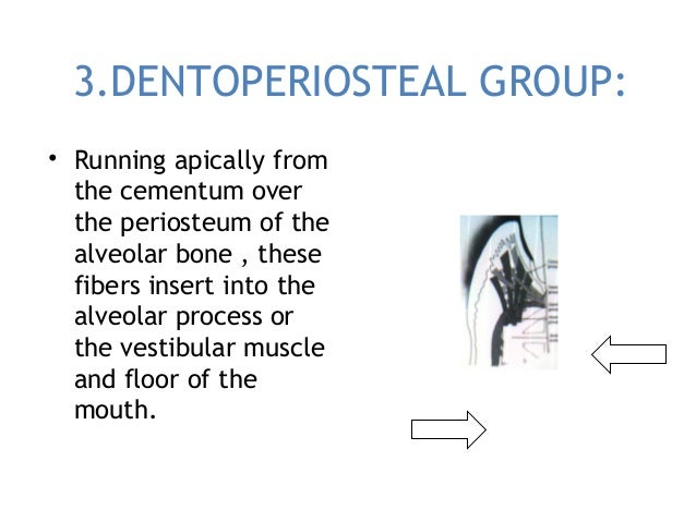 3.DENTOPERIOSTEAL GROUP: • Running apically from the cementum over the periosteum of the alveolar bone , these fibers inse...