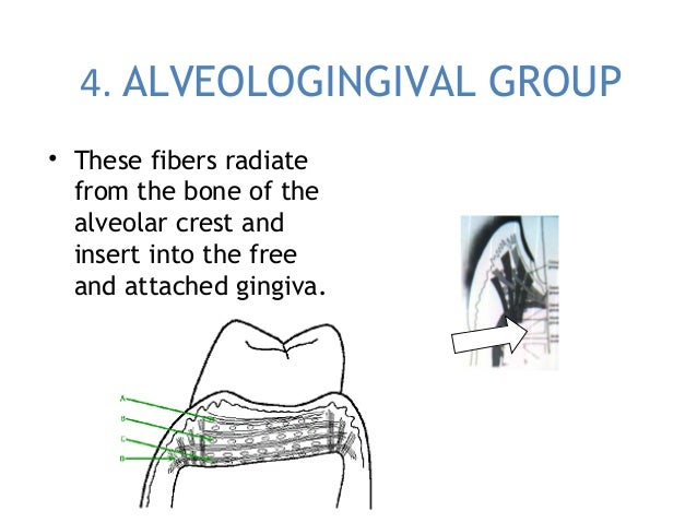 4. ALVEOLOGINGIVAL GROUP • These fibers radiate from the bone of the alveolar crest and insert into the free and attached ...