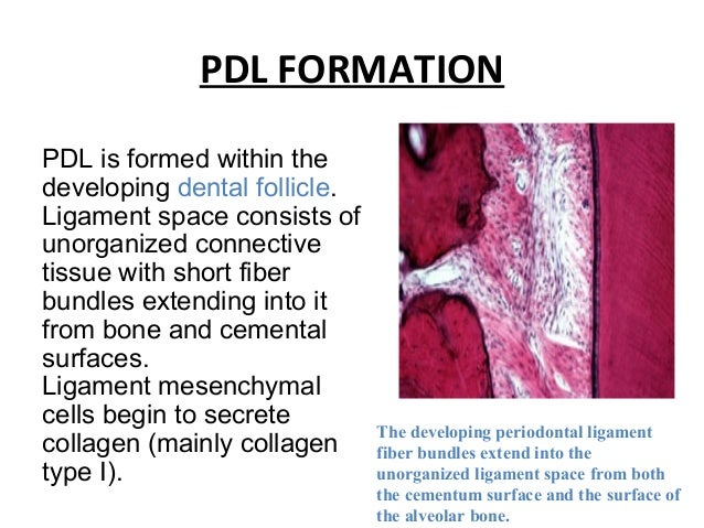 PDL FORMATION PDL is formed within the developing dental follicle. Ligament space consists of unorganized connective tissu...