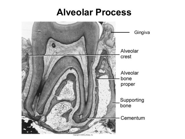 Alveolar Process Gingiva