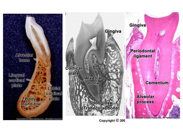 periodontium 2