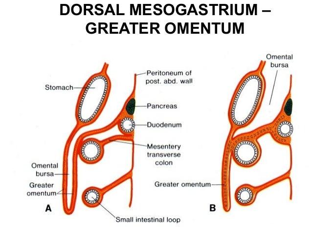peritoneium, Human Body