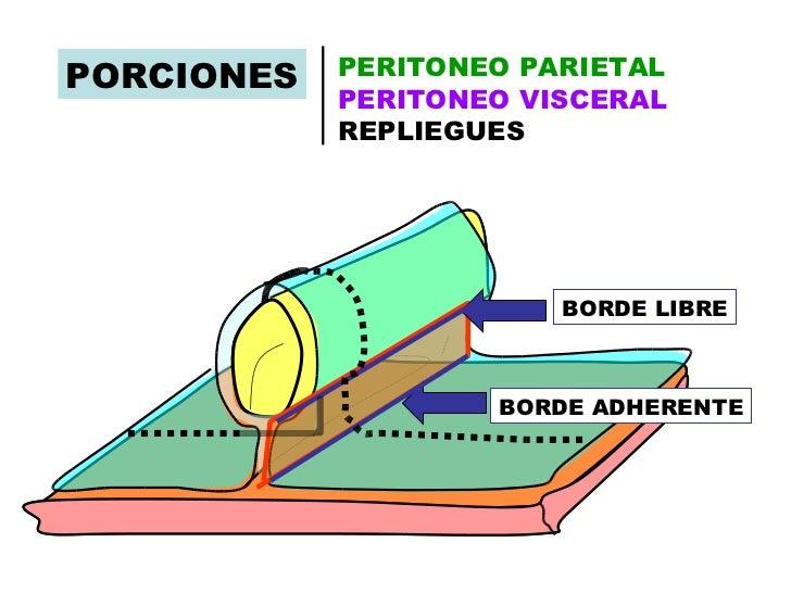 Contemporáneo Visceral Anatomía Definición Ideas - Anatomía de Las ...