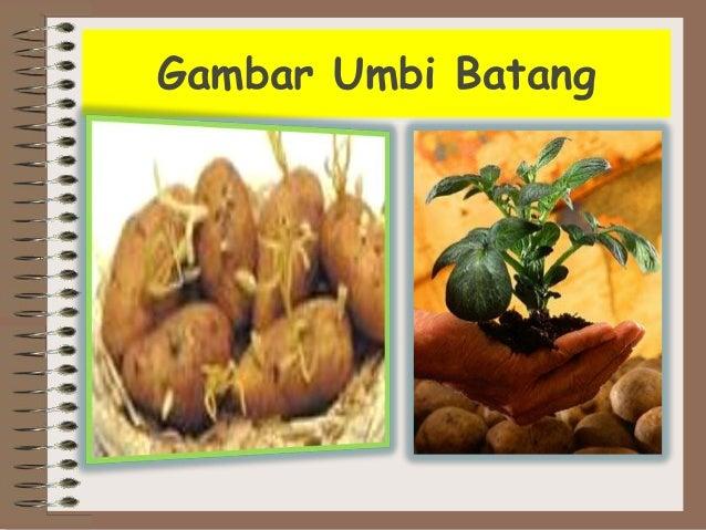 Contoh Umbi Batang Miharu Hime