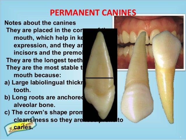 Permanent canines Slide 2