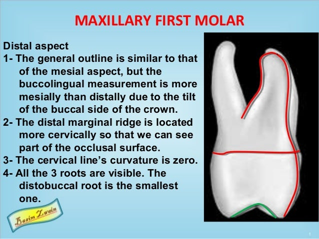 MAXILLARY FIRST MOLAR Distal aspect 1- The general outline is similar to that of the mesial aspect, but the buccolingual m...