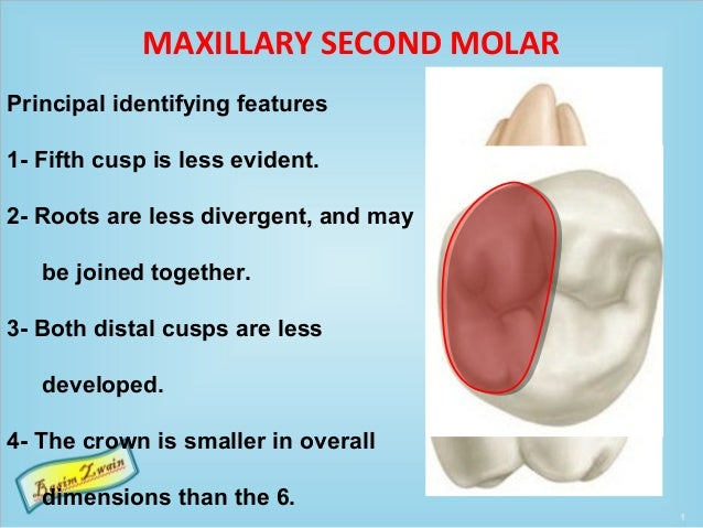 MAXILLARY SECOND MOLAR Principal identifying features 1- Fifth cusp is less evident. 2- Roots are less divergent, and may ...