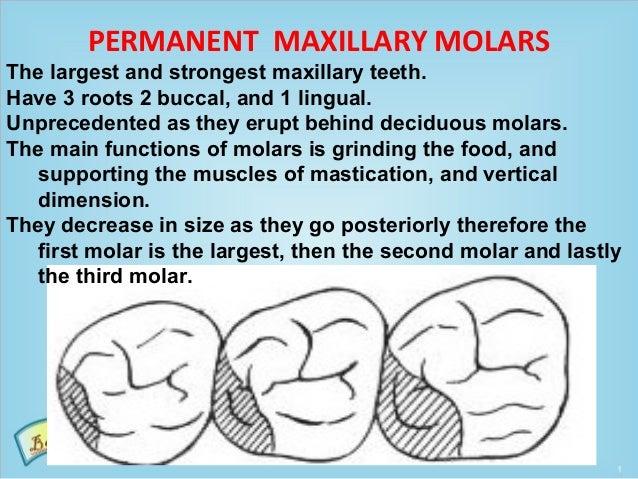 Maxillary third molar anatomy