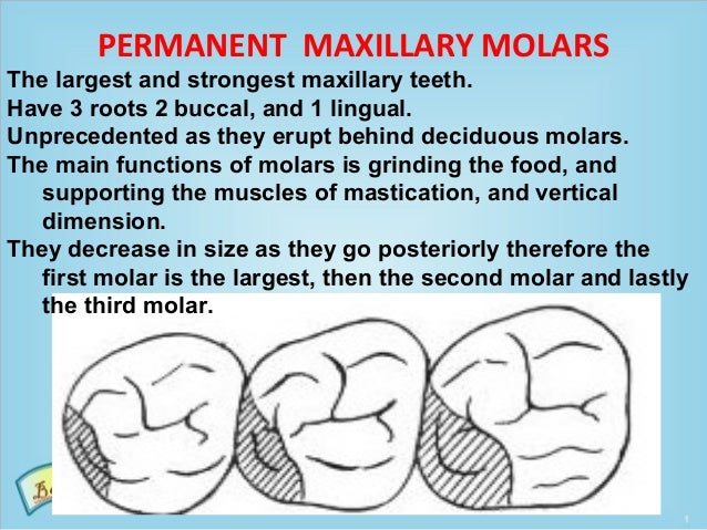 PERMANENT MAXILLARY MOLARS The largest and strongest maxillary teeth. Have 3 roots 2 buccal, and 1 lingual. Unprecedented ...