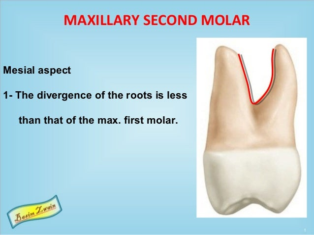 MAXILLARY SECOND MOLAR Mesial aspect 1- The divergence of the roots is less than that of the max. first molar.