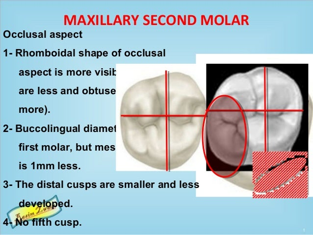 MAXILLARY SECOND MOLAR Occlusal aspect 1- Rhomboidal shape of occlusal aspect is more visible (acute angles are less and o...
