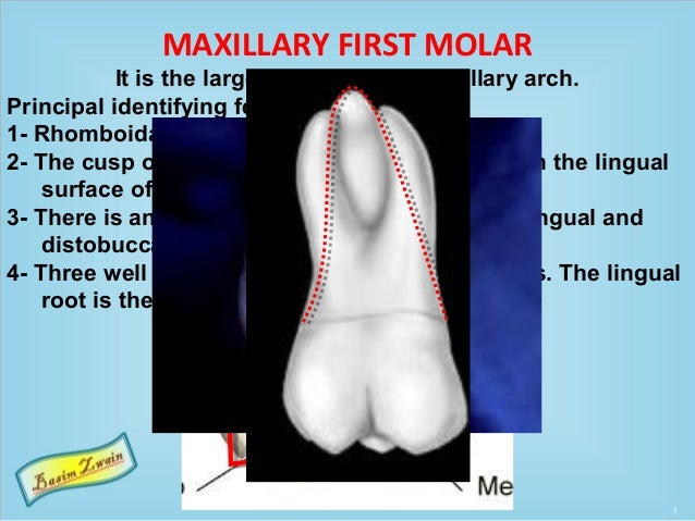 MAXILLARY FIRST MOLAR It is the largest tooth in the maxillary arch. Principal identifying features 1- Rhomboidal occlusal...