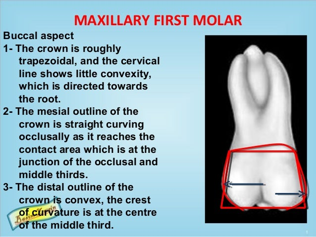 MAXILLARY FIRST MOLAR Buccal aspect 1- The crown is roughly trapezoidal, and the cervical line shows little convexity, whi...