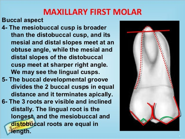 MAXILLARY FIRST MOLAR Buccal aspect 4- The mesiobuccal cusp is broader than the distobuccal cusp, and its mesial and dista...