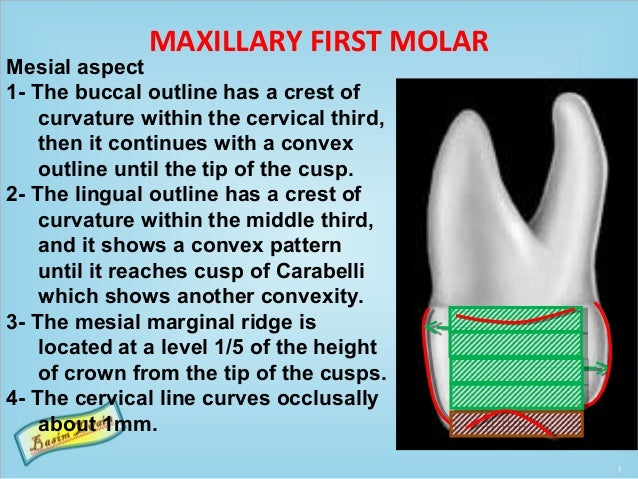 MAXILLARY FIRST MOLAR Mesial aspect 1- The buccal outline has a crest of curvature within the cervical third, then it cont...