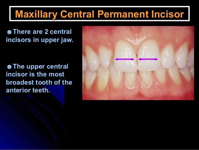 Permanent teeth Anatomy