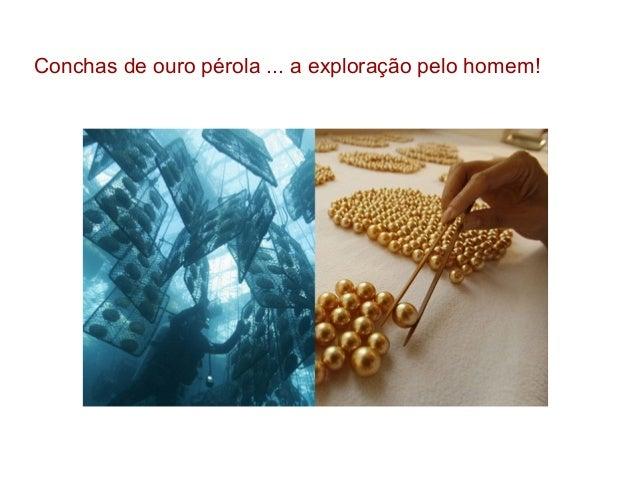 Conchas de ouro pérola ... a exploração pelo homem!