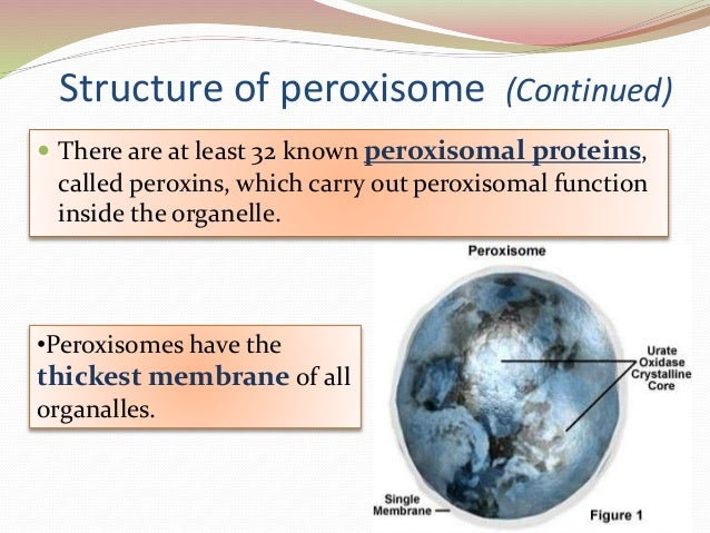 introduction to peroxisomes Eukaryotic organelles: the cell nucleus, mitochondria, and peroxisomes the endoplasmic reticulum the endoplasmic reticulum, or er, is a very important cellular structure because of its function in protein synthesis and lipid synthesis.