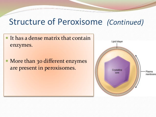 Peroxisome In A Cell
