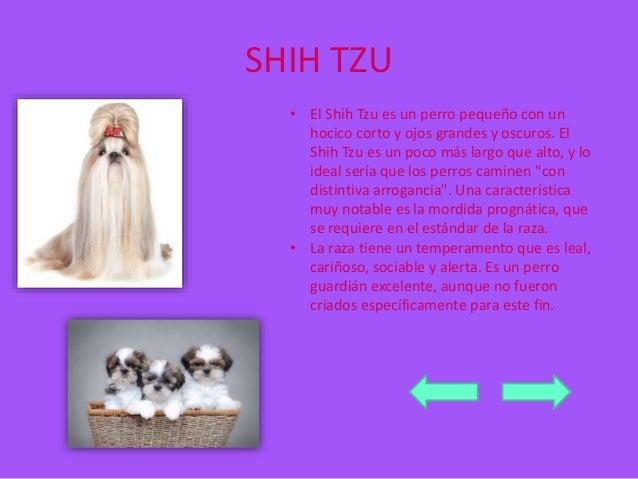 SHIH TZU  • El Shih Tzu es un perro pequeño con un  hocico corto y ojos grandes y oscuros. El  Shih Tzu es un poco más lar...