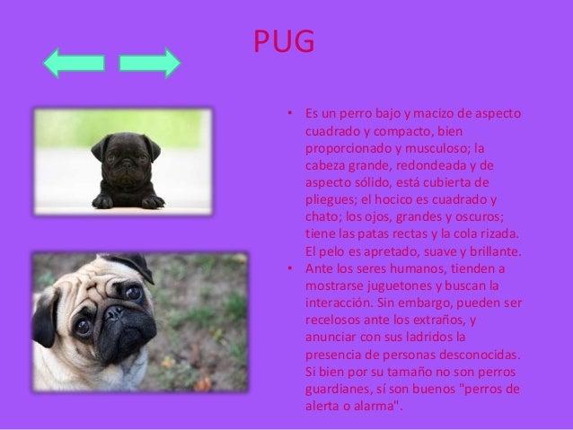 PUG  • Es un perro bajo y macizo de aspecto  cuadrado y compacto, bien  proporcionado y musculoso; la  cabeza grande, redo...
