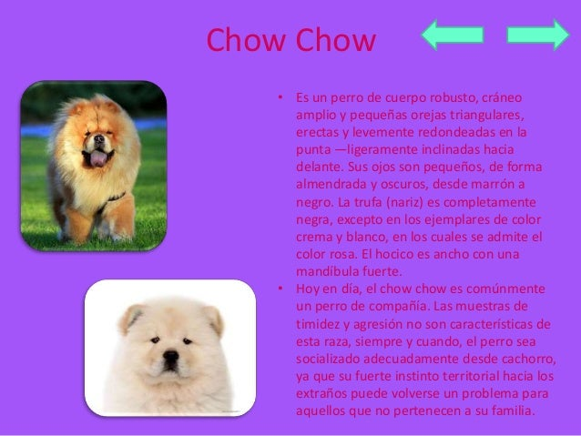 Chow Chow  • Es un perro de cuerpo robusto, cráneo  amplio y pequeñas orejas triangulares,  erectas y levemente redondeada...