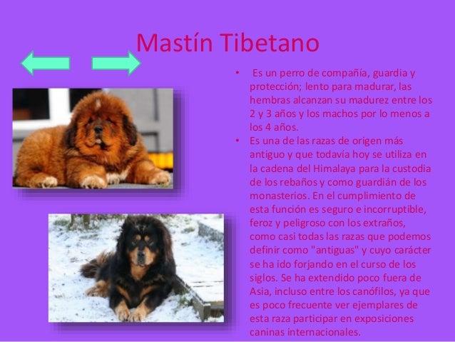 Mastín Tibetano  • Es un perro de compañía, guardia y  protección; lento para madurar, las  hembras alcanzan su madurez en...