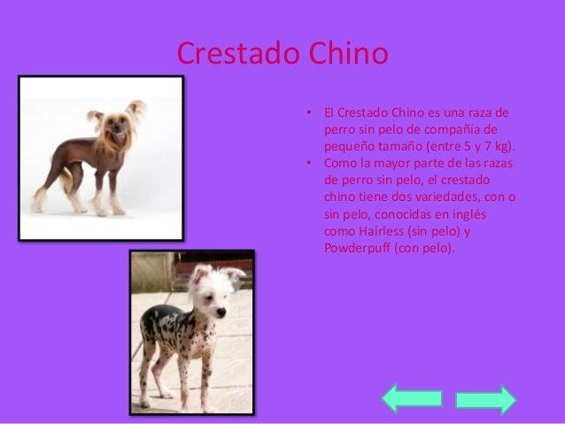 Crestado Chino  • El Crestado Chino es una raza de  perro sin pelo de compañía de  pequeño tamaño (entre 5 y 7 kg).  • Com...