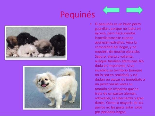 Pequinés  • El pequinés es un buen perro  guardián, porque no ladra en  exceso, pero hará sonidos  inmediatamente cuando  ...