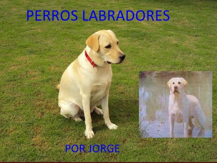 PERROS LABRADORES POR JORGE