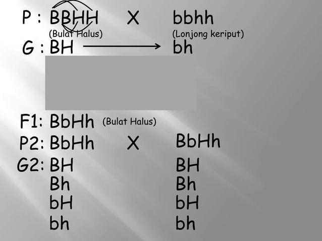 P : BBHH  (Bulat Halus)  G : BH BH BH BH F1: BbHh P2: BbHh G2: BH Bh bH bh  X  bbhh  (Lonjong keriput)  bh bh bh bh (Bulat...