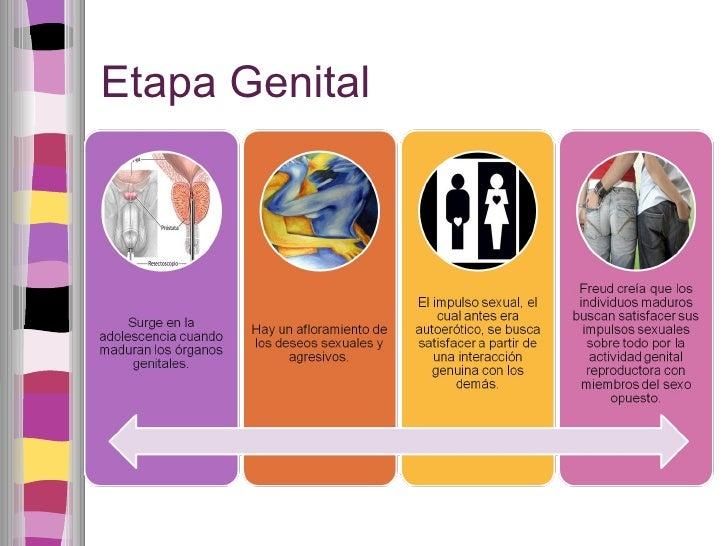 Etapa Genital