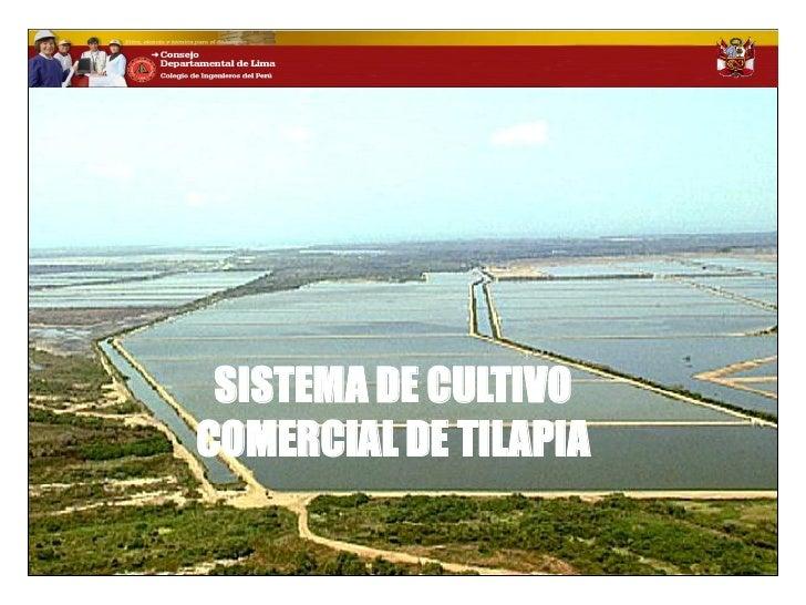 Perspectiva del cultivo y comercializacion de tilapia en for Densidad de siembra de tilapia