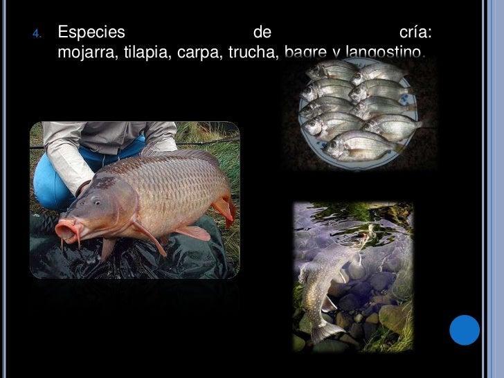 Pesca for Criadero de mojarras