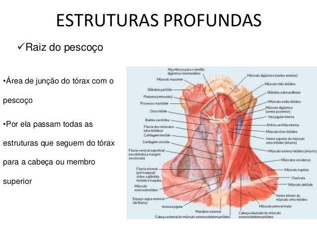 Pescoço Anatomia O Que Um Médico Generalista Precisa